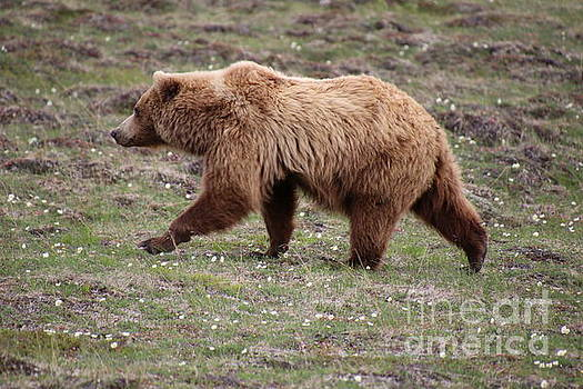 Brown Grizzly Bear Walking by Marisa Meisters