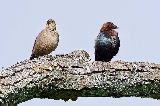Brown Headed Cowbirds Sitting in a Tree by Michael Peychich