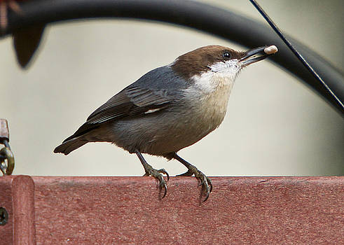 Brown-Headed Nuthatch by Robert L Jackson