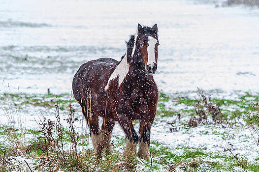 Brown Horse Galloping Through The Snow by Scott Lyons