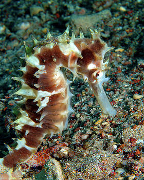 Red Jayakar's Seahorse, Red Sea, Israel 1 by Pauline Walsh Jacobson