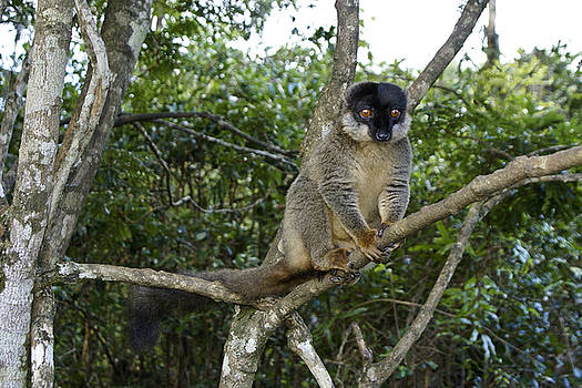 Michele Burgess - Brown Lemur