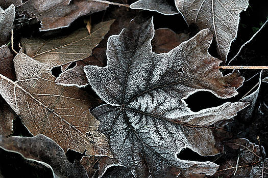 Brown maple leaves by LesJardins Photography