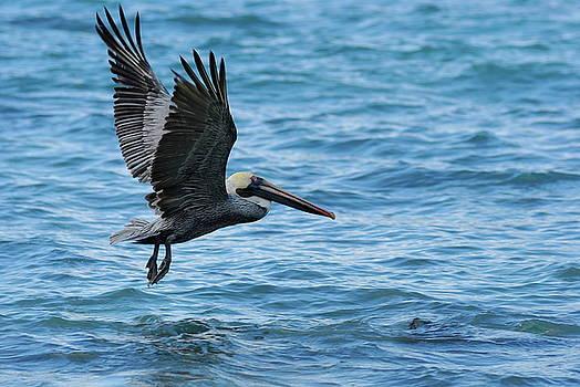 Sami Sarkis - Brown Pelican in flight over water