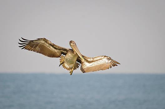 Christine Kapler - Brown Pelican landing