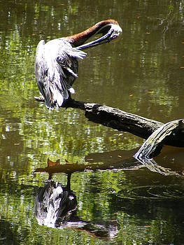 Brown Pelican on a Log Cleaning its Feathers by Elena Tudor