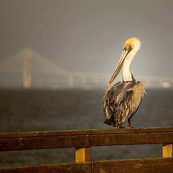 Chris Bordeleau - Brown Pelican on St. Simons Island pier
