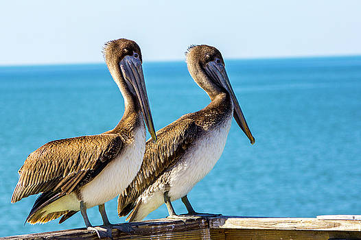 Brown Pelican Pair by Randy Bayne
