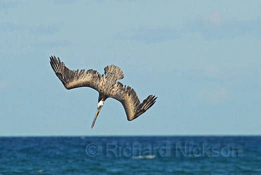 Brown Pelican by Richard Nickson