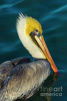 Brown Pelican by Stefano Senise