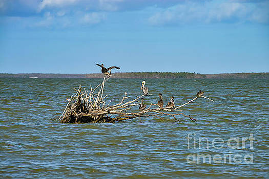 Bob Phillips - Brown Pelicans and Royal Terns