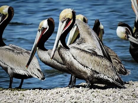 Brown Pelicans preening by Gaelyn Olmsted