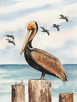 Sam Sidders - Brown Pelicans