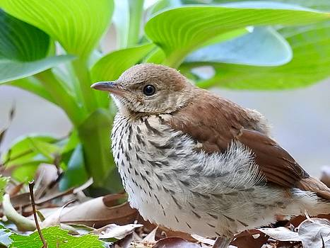 Brown Thrasher Baby by Sheila Price