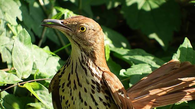 Brown Thrasher  Closeup  by Cathy Harper