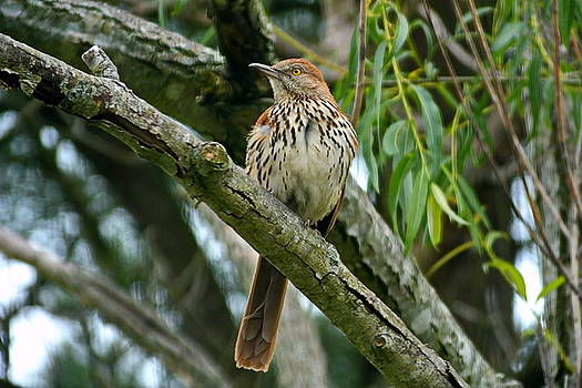 Brown Thrasher  by Francie Davis