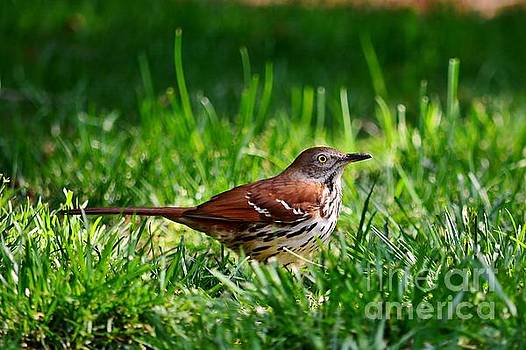 Brown Thrasher by Kelly Nowak