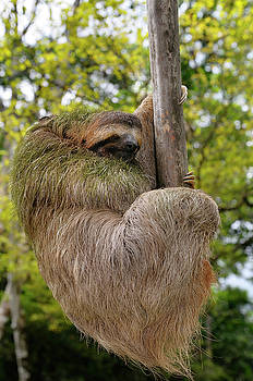 Reimar Gaertner - Brown throated Three toed Sloth hanging at the end of a branch i