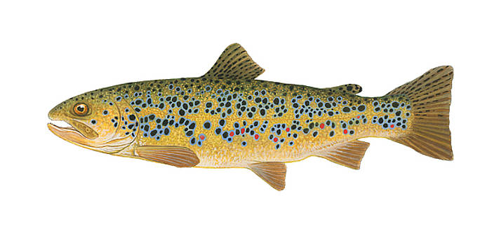 Brown Trout by Shari Erickson