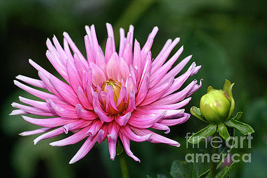 Bubble Gum Bloom by ArtissiMo Photography