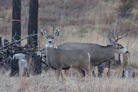 Buck and Doe by Jodi Vetter