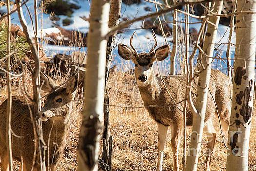Steve Krull - Buck and Doe Mule Deer in Winter