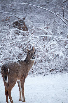 Buck In The Snow by Karol Livote