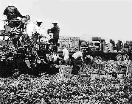 Bud celery packing machine and trucks in fields Circa 1955 by California Views Mr Pat Hathaway Archives