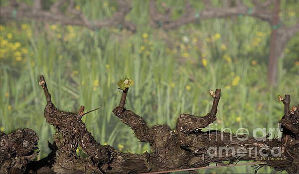 Budbreak in Carneros by Carol Lynn Coronios