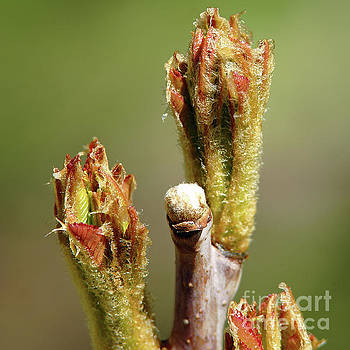 Budding Sumac by Robin Clifton