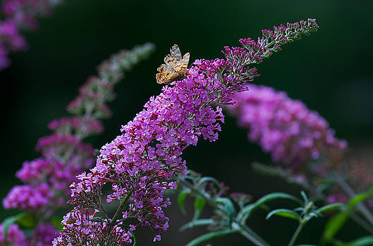 Warren Sarle - Buddleia with Butterfly