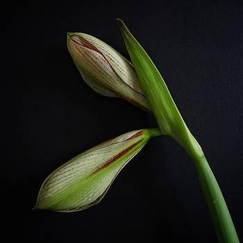 Buds of Amaryllis Sumatra by Per Lidvall