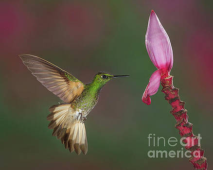 Buff-tailed Coronet approaching Banana Flower by Jerry Fornarotto