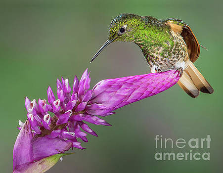 Buff-tailed Coronet Hummingbird Perched by Jerry Fornarotto