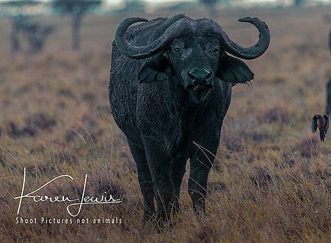 Buffalo and Friend by Karen Lewis