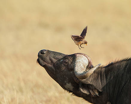 Buffalo and Oxpecker Bird by Phyllis Peterson