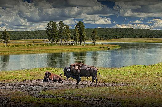 Randall Nyhof - Buffalo by Yellowstone River