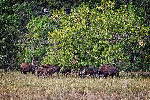 Ray Van Gundy - Buffalo Gathering at Tree