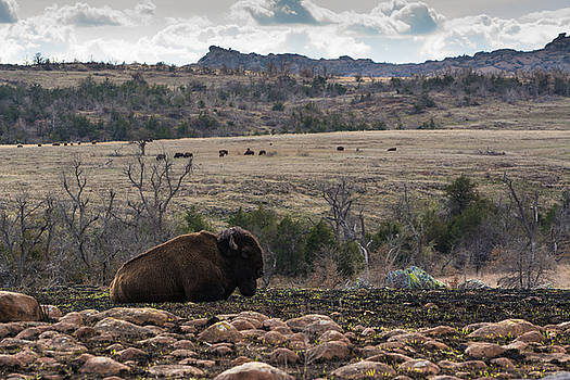 Buffalo in the Wichita Mountains by Nathan Hillis