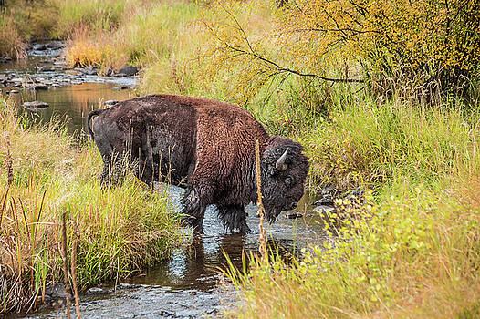 Buffalo Stream Crossing by Steven Bateson