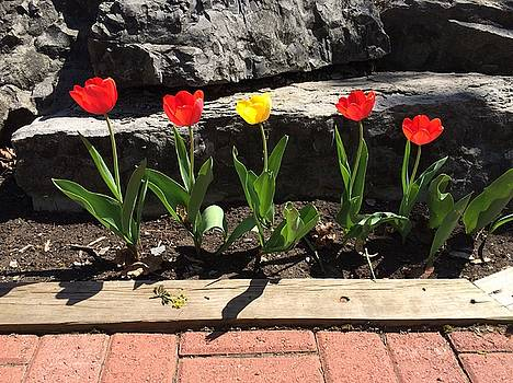 Buffalo Tulips by Mark Weber