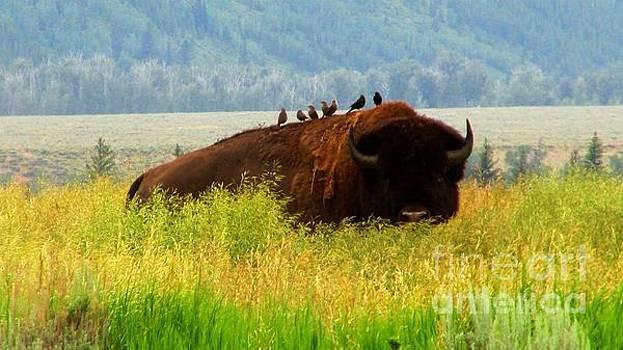 Buffalo Wings by Janice Westerberg