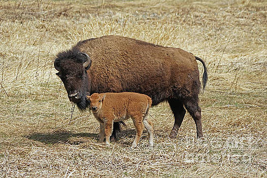 Buffalo with newborn calf by Bill Gabbert