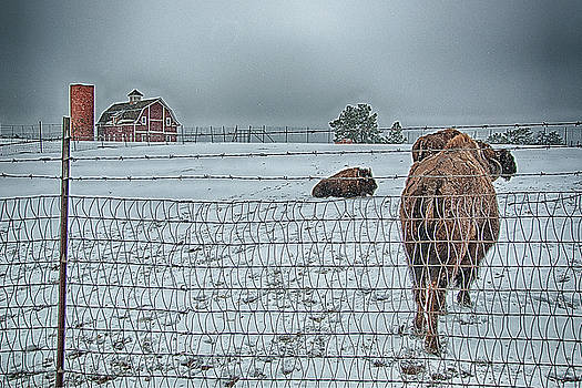 Buffalos in the Snow by Barry C Donovan