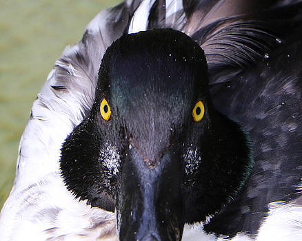 Bufflehead Duck by Bob See