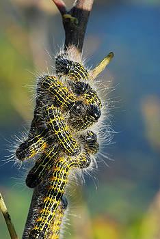 Bufftip Moth Caterpillars by Claire Wilson