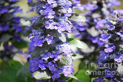 Bugleweed Flowers in Bloom by DejaVu Designs