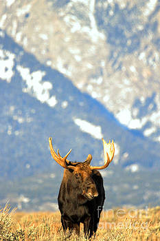 Adam Jewell - Bull At The Base Of The Tetons