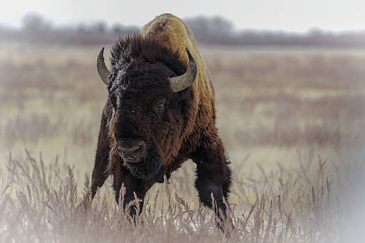 Bull Bison 2 by Kelly Kennon