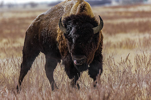 Bull Bison by Kelly Kennon